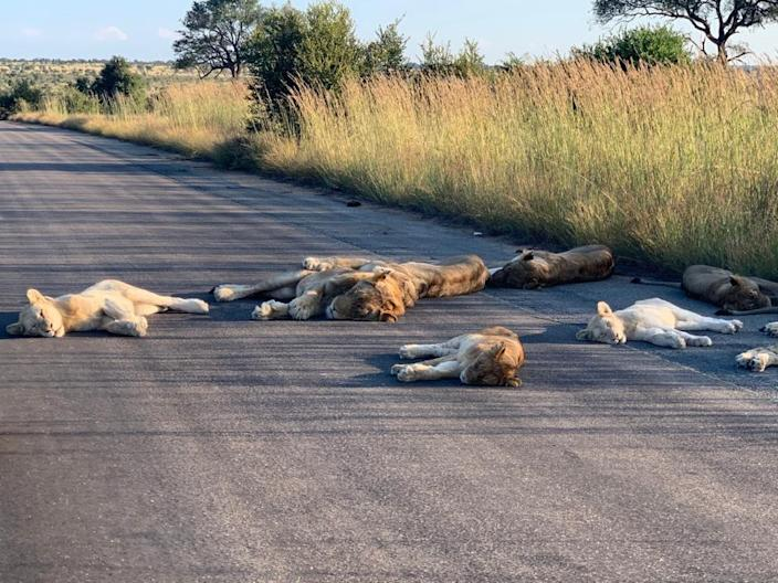 Lions napping on a road outside Orpen Rest Camp in Kruger National Park, South Africa on April 15, 2020.