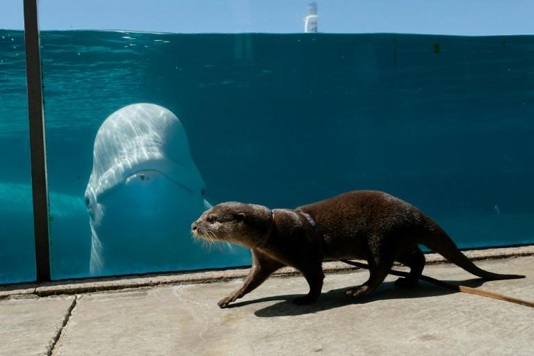 The otter and the beluga whale are two of the most popular attractions (AFP Photo/Kazuhiro NOGI)