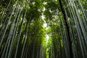 The famous bamboo grove close to Kyoto.