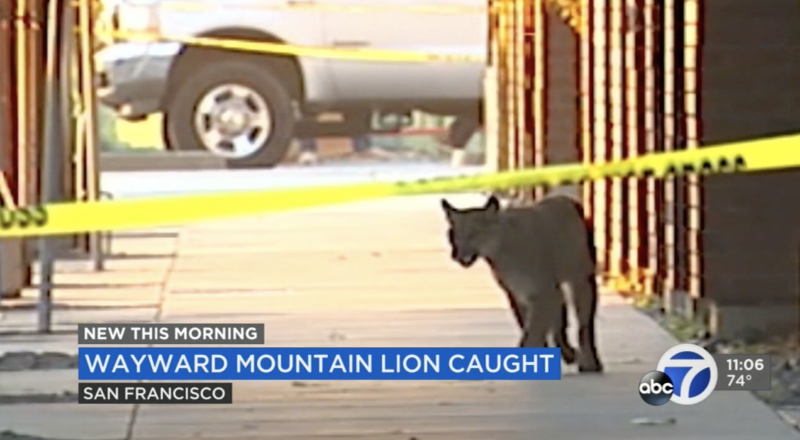 After multiple sightingsw across San Francisco, the mountain lion was caught and taken to a vet. Source: ABC7