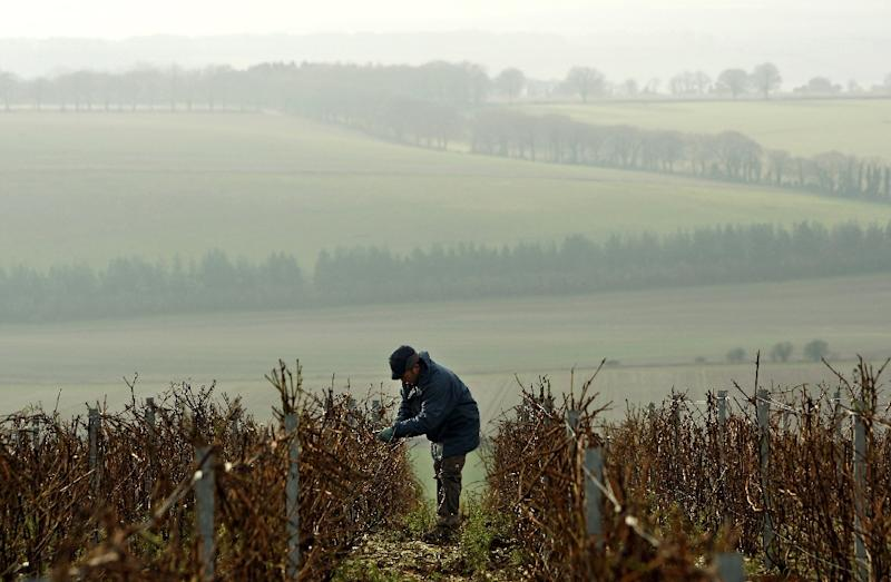 Although most of England's vineyards are in the southeast, parts of England farther north and in Wales are now suitable for growing grapes thanks to climate change (AFP Photo/ADRIAN DENNIS)