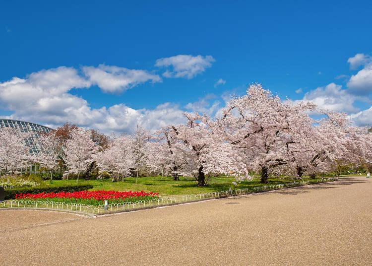 Only here can enjoy the combination of Yoshino cherry trees and red tulips
