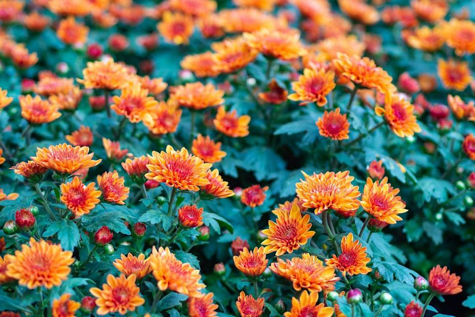 """<p>These beautiful flowering plants, which are also known mums or chrysanths, are famed for being incredibly easy to grow. Providing invaluable autumn colour, they are the perfect flower to welcome into your garden this year. </p><p><a class=""""link rapid-noclick-resp"""" href=""""https://go.redirectingat.com?id=127X1599956&url=https%3A%2F%2Fwww.thompson-morgan.com%2Fp%2Fchrysanthemum-coronarium-primrose-gem%2F7582TM&sref=https%3A%2F%2Fwww.countryliving.com%2Fuk%2Fhomes-interiors%2Fgardens%2Fg35147195%2Fflower-trends-2021%2F"""" rel=""""nofollow noopener"""" target=""""_blank"""" data-ylk=""""slk:BUY NOW VIA THOMPSON & MORGAN"""">BUY NOW VIA THOMPSON & MORGAN</a></p>"""