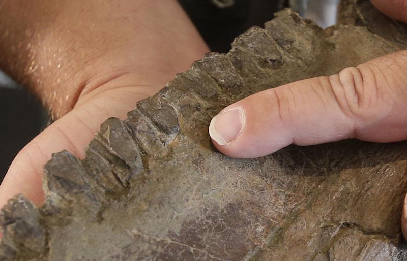 "The teeth of a ""Nasutoceratops titusi"" is shown during a news conference at the Natural History Museum of Utah Wednesday, July 17, 2013, in Salt lake City. Researchers in Salt Lake City say fossil-hunters unearthed the bones of a new type of big-nosed, horned-faced dinosaur in southern Utah. It's part of the same family as the well-known Triceratops. (AP Photo/Rick Bowmer)"