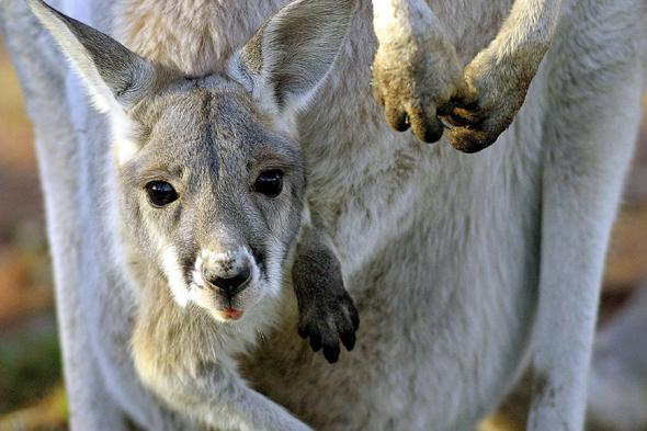 male kanagroo gives birth to baby at zoo