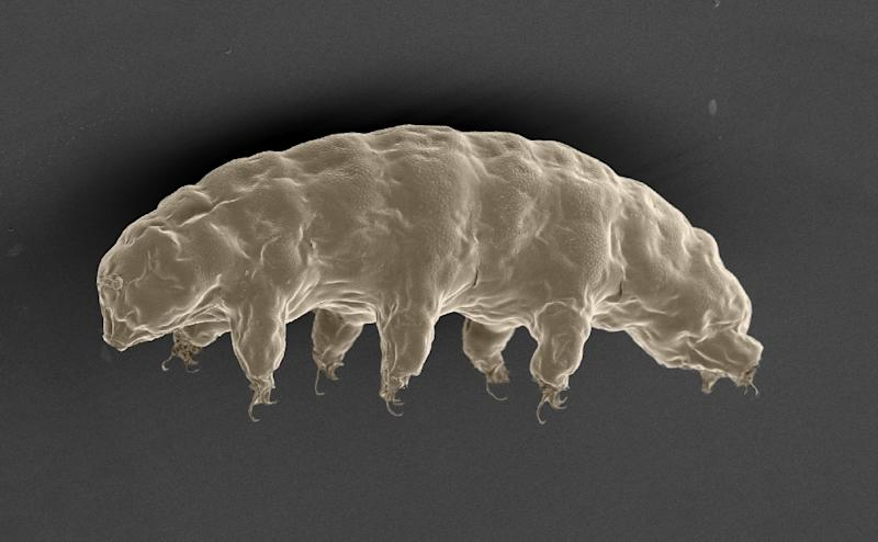 A scanning electron microscope image of the hydrated tardigrade or 'water bear' (Ramazzottius varieornatus), in an image released by Nature Publishing Group on September 20, 2016 (AFP Photo/Tanaka S. / Sagara H. / Kunieda.)