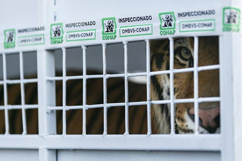 Simba, a Bengal tiger, paces in his cage as Avianca cargo employees work to load him into a van at Miami International Airport on Monday, Nov. 25, 2019. Simba, Max and Kimba, who were rescued from a circus in Guatemala by Animal Defenders International, are being sent to an animal sanctuary, Big Cat Rescue, in Tampa.
