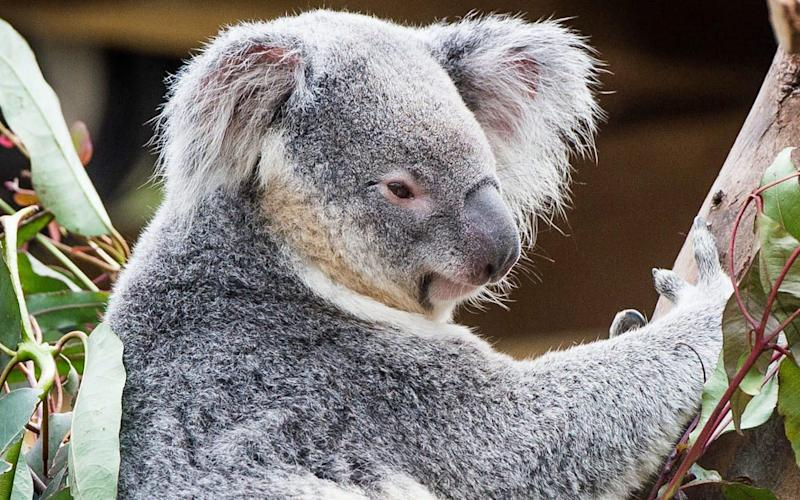 A koala, not pictured, was found mutilated on the side of an Australian road  - EPA