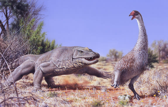 Humans likely played a role in the extinction of the giant flightless bird (<i>Genyornis newtoni</i>), seen here surprised by the <i>Megalania prisca</i> lizard 50,000 years ago.