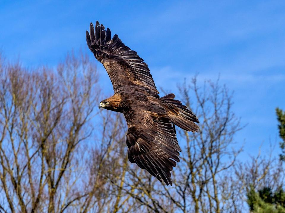 Golden eagles were wiped out in England by the mid 19th century due to widespread persecution  (Getty)