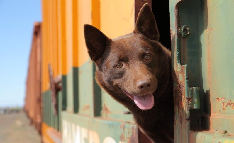 Koko played the notorious kelpie in the Red Dog movie. Picture: David Darcy