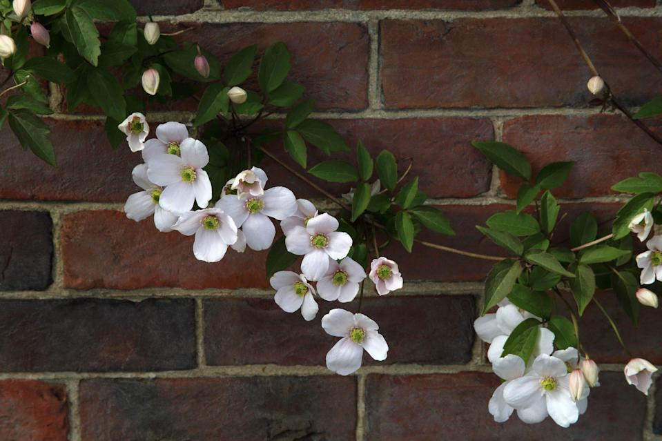 """<p>You'll recognize the <a href=""""https://www.southernliving.com/plants/clematis"""" rel=""""nofollow noopener"""" target=""""_blank"""" data-ylk=""""slk:petite white flowers of clematis"""" class=""""link rapid-noclick-resp"""">petite white flowers of clematis</a> as soon as you see them. Paired with dark green leaves, the clustered flowers make quite the show. They prefer full sun and regular watering and can be grown in USDA zones 6-9.</p>"""