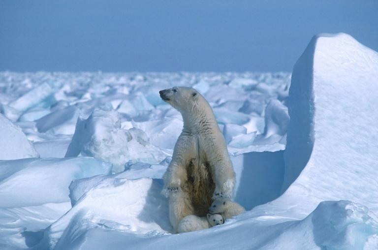 A polar bear with its cubs in the Alaska sea ice in 1985 -- Arctic summer sea ice melted in 2020 to the second smallest area since records began 42 years ago, US scientists announced