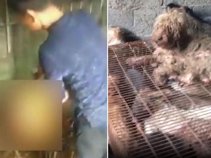 """Video footage shows a dog apparently being blow torched alive ahead of an annual dog meat festival in China.As many as 15,000 dogs are tortured, killed and cooked to be sold at Yulin Lychee and Dog Meat Festival every year.Canine meat is considered a delicacy in China, where about £10m worth of dogs and £4m cats are sold for their meat annually.But 1.5 million people have now signed a petition calling for an end to the cruel festival.Claire Bass, UK director of Humane Society International (HSI), said: """"Yulin is one relatively small example of a much larger, uglier issue that thousands of dedicated Chinese activists are working to stop.""""Contrary to the assumptions by many in the West, most people in China don't eat dogs and in fact they are horrified at the thought of a trade that takes their canine companions away from them.""""Sending her support for the petition, actress Dame Judi Dench said: """"It fills me with sadness to think that the Yulin dog meat festival is just around the corner again.""""So I wanted to send this message as a symbol of my solidarity with all the thousands of people in China against the dog meat trade, who love their dogs and cats just as much as we do, but who go through the awful heart ache of having them stolen by dog thieves.""""Most dogs and cats caught up in China's meat trade are believed to be strays snatched from the streets and stolen pets, according to HSI.Dogs and cats are typically bludgeoned to death in front of each other, put into a de-hairing machine to remove fur, and then blow-torched for sale to markets, the organisation said.The animals are also still sometimes slaughtered in public places.Thousands descend on the festival on 21 June each summer to celebrate the summer solstice – the longest day of the year.According to folklore, eating the meat during the summer months brings luck and good health.Some also believe dog meat can ward off diseases and heighten men's sexual performance.Cat meat, fresh lychees and liquor are also ava"""
