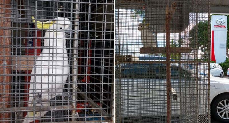 Pictured is Toyota the cockatoo in a cage at a Toyota dealership in northern NSW. A petition is calling for him to be freed.