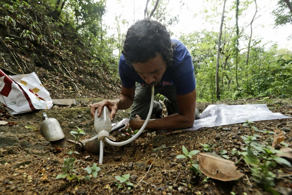Dumas Galvez, a researcher of the Smithsonian Tropical Research Institute, collects ants from a nest in Paraiso, Panama, Tuesday, April 13, 2021. Before the COVID-19 pandemic, Galvez spent many hours in his lab analyzing their blood and how they responded to attacking fungi. (AP Photo/Arnulfo Franco)