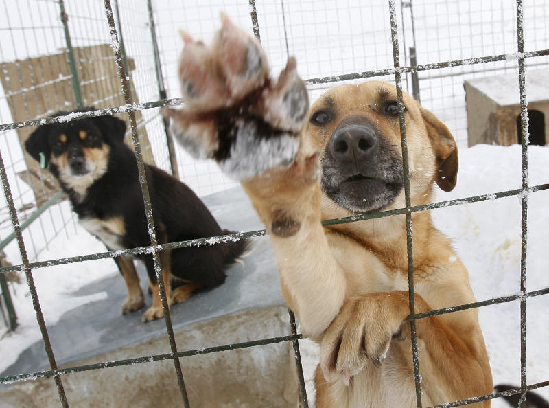 FILE - In this Feb. 10, 2010, dogs react from a cage at a stray dog shelter in a field outside Bucharest, Romania.The mayor of the Romanian capital said Thursday, Sept. 5, 2013, there will be a referendum on whether thousands of stray dogs should be euthanized after a 4-year-old boy was fatally mauled by a stray on Monday. (AP Photo/Vadim Ghirda, File)