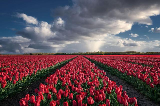 """<p>""""When I first started scouting for flower fields, I was actually amazed how many there were in my country."""" (Photo: Albert Dros/Caters News) </p>"""