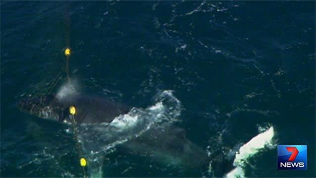 A whale calf caught in a shark net off Southport has been freed. Photo: 7News