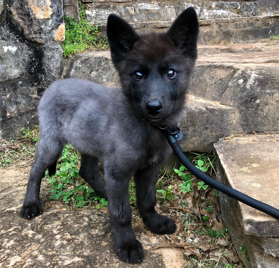 Nymeria the pup on a leash.