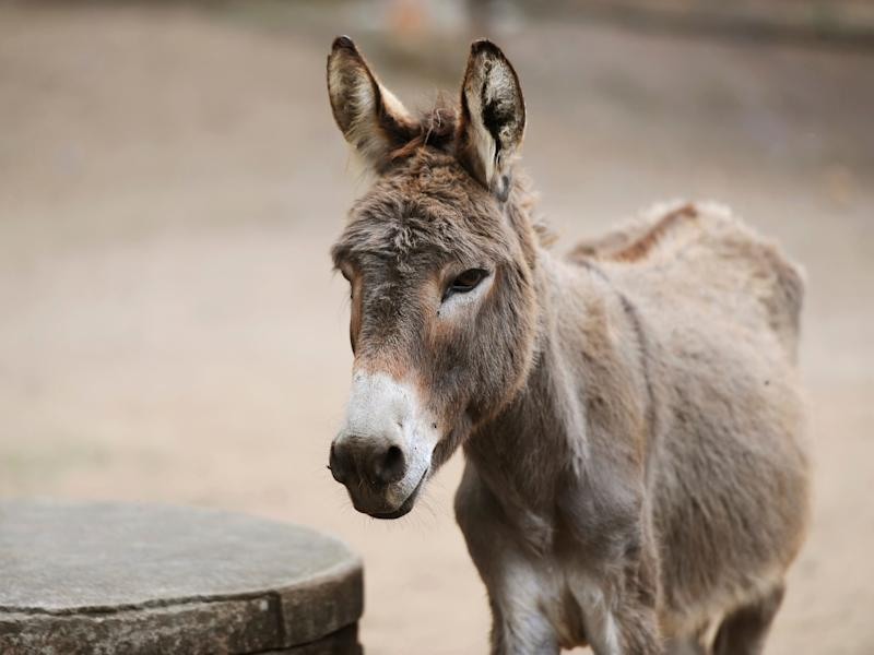 Donkeys may have been ridden earlier than previously thought: Getty Images / iStockphoto