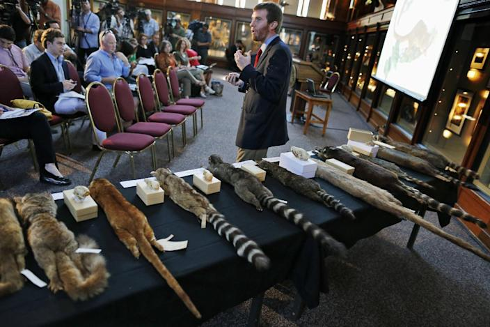 Kristofer Helgen, curator of mammals at the Smithsonian's National Museum of Natural History, stands in front of a table with specimens from the raccoon family as he talks about the discovery of the olinguito (Bassaricyon neblina), which is the first carnivore species to be discovered in the American continents in 35 years, Thursday, Aug. 15, 2013, during a news conference in Washington. The two-pound olinguito is native to forests of Colombia and Ecuador. (AP Photo/Charles Dharapak)