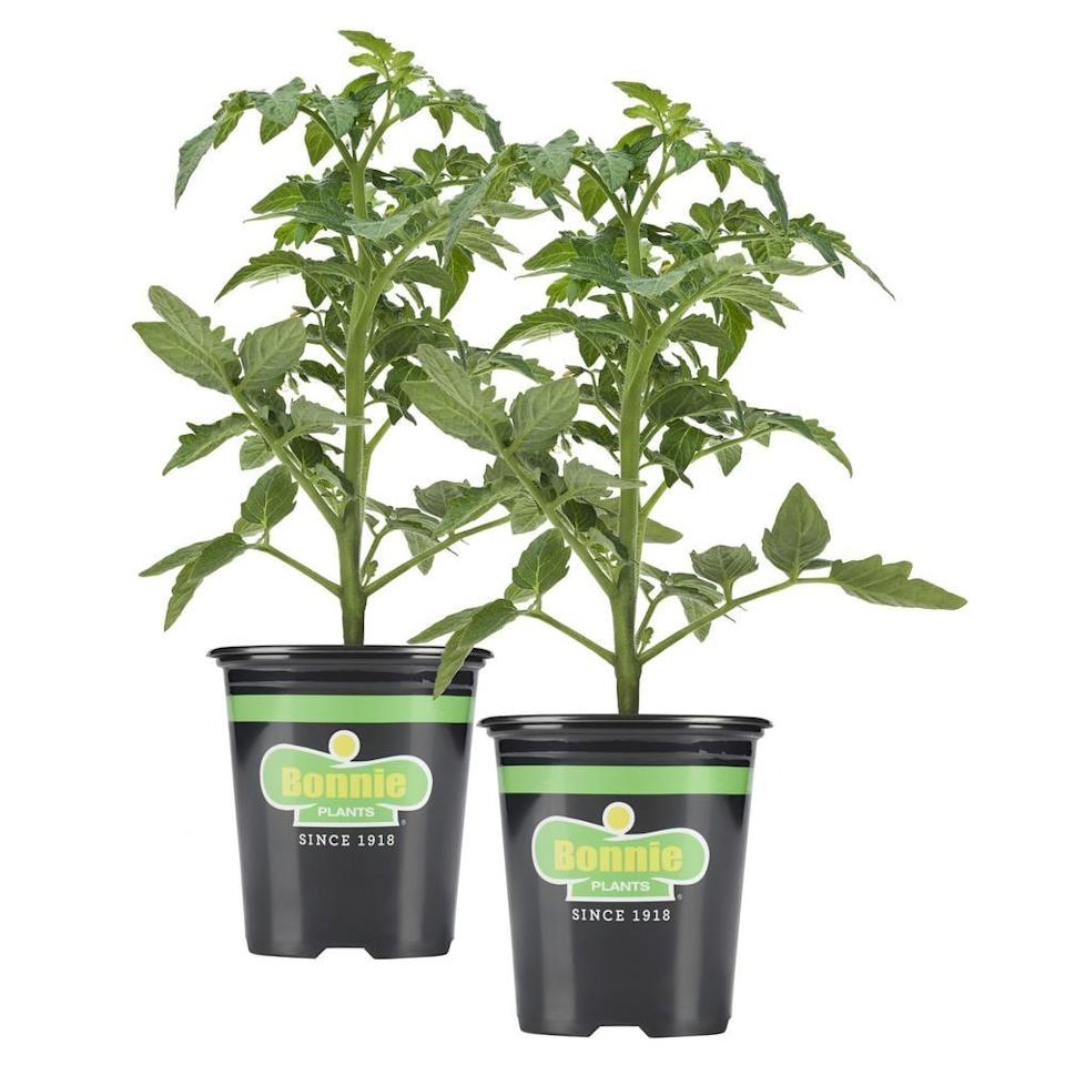 """<p>Grow your own selection of <a href=""""https://www.popsugar.com/buy/cherry-tomatoes-580376?p_name=cherry%20tomatoes&retailer=homedepot.com&pid=580376&price=8&evar1=casa%3Aus&evar9=47536388&evar98=https%3A%2F%2Fwww.popsugar.com%2Fphoto-gallery%2F47536388%2Fimage%2F47536657%2FCherry-Tomato&list1=house%20plants%2Cplants&prop13=api&pdata=1"""" class=""""link rapid-noclick-resp"""" rel=""""nofollow noopener"""" target=""""_blank"""" data-ylk=""""slk:cherry tomatoes"""">cherry tomatoes</a> ($8) with this two pack of plants. They'll thrive in the warmer months on your kitchen windowsill.</p>"""