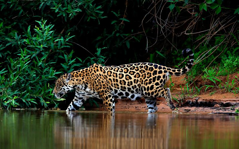 Jaguars are hard to spot but you may have more luck than most in August - Credit: © blickwinkel / Alamy Stock Photo/blickwinkel / Alamy Stock Photo