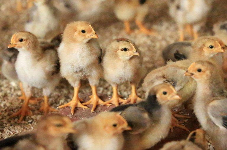 Chicks gather in their enclosure in a chicken farm in Rongan, southwest China's Guangxi province on April 9, 2013. Scientists studying the H7N9 bird flu virus that has killed more than 40 people since March said Wednesday they had discovered another H7-type virus lurking in chickens in China