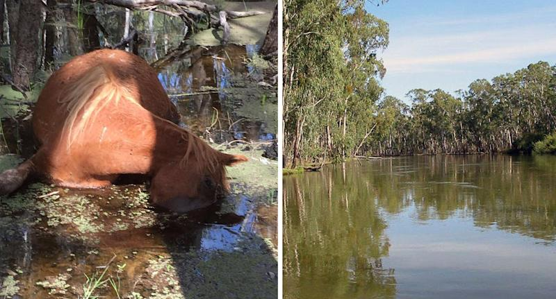 The Barmah-Millewa forest and a horse drowned in the water.