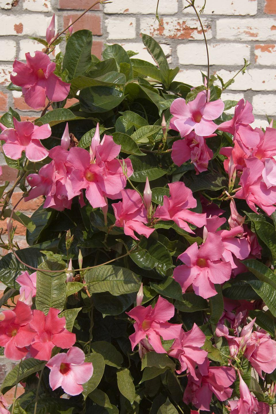 """<p>Pink, red or white blossoms cover this tropical vine and last all summer long. It likes full sun but needs a little afternoon shade in hot climates. Mandevilla is considered an annual in temperate climates, but is an evergreen in warmer regions of the country. You can try to overwinter it indoors, but it will shed leaves daily, so be prepared for lots of cleanups. </p><p><a class=""""link rapid-noclick-resp"""" href=""""https://www.amazon.com/Costa-Farms-Live-Mandevilla-Outdoor/dp/B07QFG29R4/ref=sr_1_2?dchild=1&keywords=mandevilla+plants&qid=1621019732&s=lawn-garden&sr=1-2&tag=syn-yahoo-20&ascsubtag=%5Bartid%7C10050.g.1456%5Bsrc%7Cyahoo-us"""" rel=""""nofollow noopener"""" target=""""_blank"""" data-ylk=""""slk:SHOP MANDEVILLA PLANTS"""">SHOP MANDEVILLA PLANTS</a> </p>"""