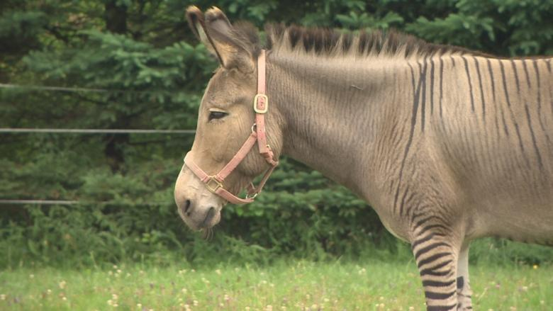 Nova Scotia's famed rescued zonkey has a new striped pal