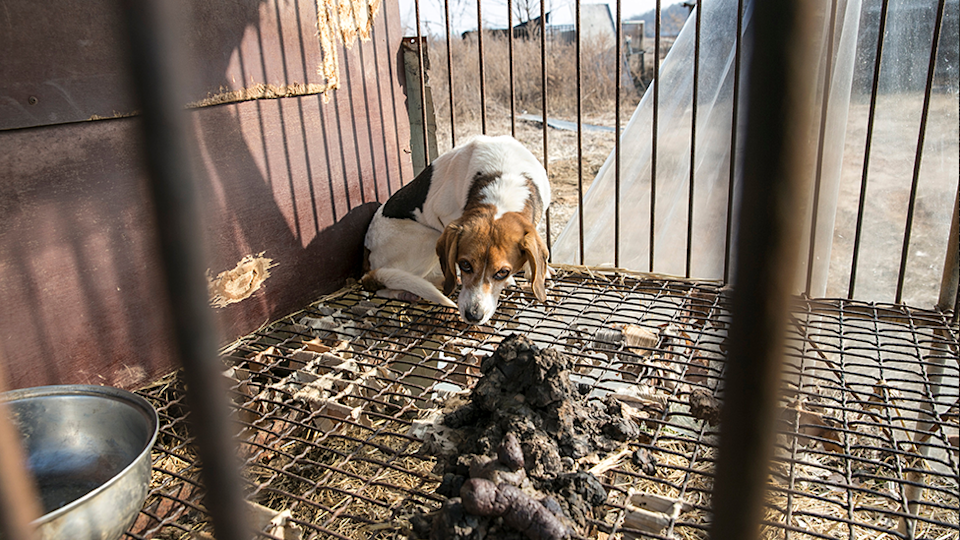 A beagle waiting to be evacuated inside a small cage. There is a pile of dog poo in the foreground
