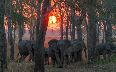 A tuskless adult female African elephant eads her group at sunset in Gorongosa National Park, Mozambique - Credit: Jennifer Guyton / CATERS NEWS