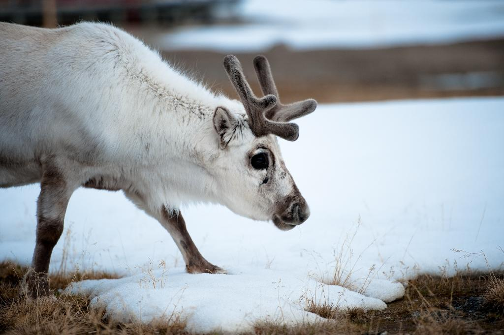 Rising winter temperatures in Norway's Lapland are a threat to reindeer (AFP Photo/MARTIN BUREAU)