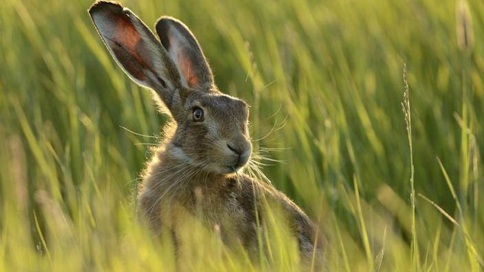 Hares are an increasingly rare sight in the UK