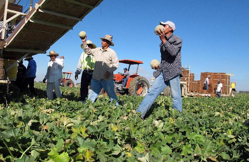 FILE - In this Oct. 12, 2011 file photo, one of the few remaining crews of workers harvest and package cantaloupes near Firebaugh, Calif. With Congress considering a new immigration reform proposal that includes a speedier process to legal status for farmworkers, experts say, the best indicator of how such reform would play out is to look at the fate of the generation of farmworkers who were legalized over two decades ago. (AP Photo/Gosia Wozniacka, File)