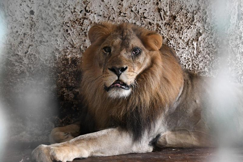 Lensi, a 15-year-old male lion, had a serious eye infection (AFP Photo/Gent SHKULLAKU)