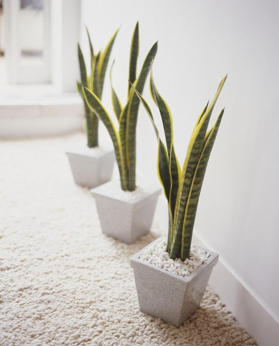 """<p><a class=""""link rapid-noclick-resp"""" href=""""https://www.amazon.com/AMERICAN-PLANT-EXCHANGE-Sansevieria-Trifasciata/dp/B07J5PMBDB/?tag=syn-yahoo-20&ascsubtag=%5Bartid%7C10057.g.3716%5Bsrc%7Cyahoo-us"""" rel=""""nofollow noopener"""" target=""""_blank"""" data-ylk=""""slk:BUY NOW"""">BUY NOW</a> <strong><em>$20, amazon.com</em></strong></p><p>Since these <a href=""""http://www.gardeningknowhow.com/houseplants/snake-plant/snake-plant-care.htm"""" rel=""""nofollow noopener"""" target=""""_blank"""" data-ylk=""""slk:vertical plants"""" class=""""link rapid-noclick-resp"""">vertical plants</a> can survive low light levels <em>and </em>drought, they're basically designed for the kind of office life where you can't find 10 minutes to eat your lunch—let alone water your plants.</p>"""
