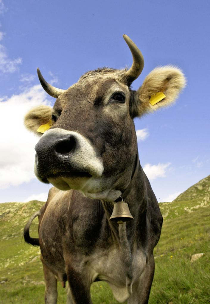 Typical mountain cow with bell in the Central Alps of Italy