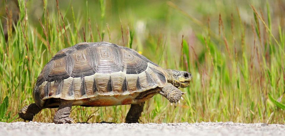 """<p>""""While it is true that the sound a turtle makes sounds like it's hissing, it's not. When a turtle is afraid or picked up quickly, it pulls its head in really quickly and this action forces the air out. It's biological, not deliberate. """" Says the <a href=""""https://www.tortoise.com/"""" rel=""""nofollow noopener"""" target=""""_blank"""" data-ylk=""""slk:American Tortoise Rescue"""" class=""""link rapid-noclick-resp"""">American Tortoise Rescue</a>. </p>"""