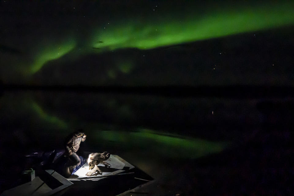Bernard Ishnook cleans the head of a two-year-old bull moose under the Northern Lights on Wednesday, Sept. 15, 2021, near Stevens Village, Alaska. For the first time in memory, both king and chum salmon have dwindled to almost nothing and the state has banned salmon fishing on the Yukon. The remote communities that dot the river and live off its bounty are desperate and doubling down on moose and caribou hunts in the waning days of fall. (AP Photo/Nathan Howard)