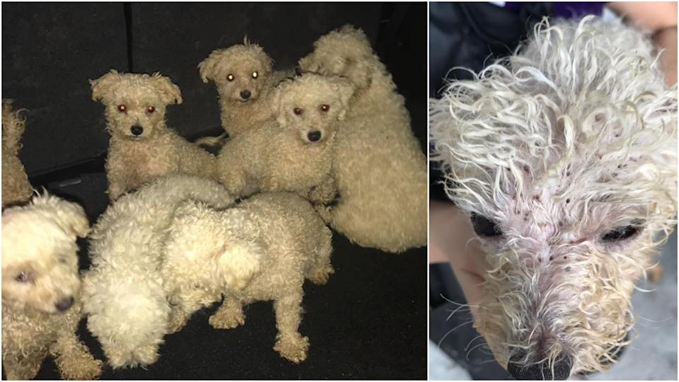 Bichon Frise- Maltese mix dogs that were found with Leow. (PHOTOS: Voices for Animals Facebook)