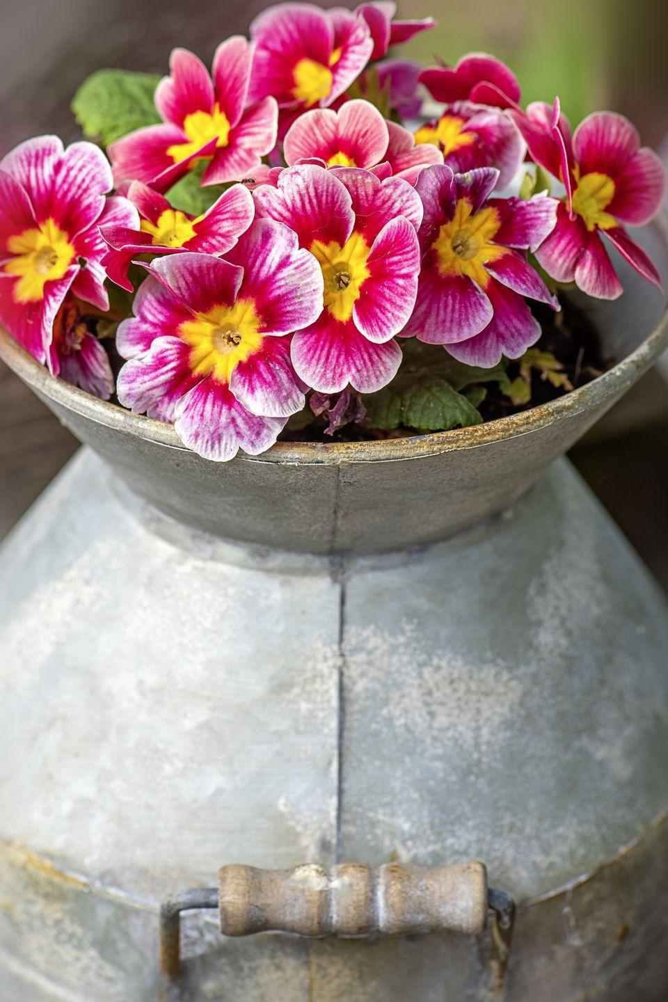 """<p>These charming perennials are some of the earliest to bloom in spring. Though they appear delicate, they're actually extremely hardy against the cold. There are hundreds of species of primroses, so look for one that will survive winter in your area. This type of flower will tolerate part sun.</p><p><a class=""""link rapid-noclick-resp"""" href=""""https://www.bluestoneperennials.com/PRBL"""" rel=""""nofollow noopener"""" target=""""_blank"""" data-ylk=""""slk:SHOP PRIMROSES"""">SHOP PRIMROSES</a></p>"""