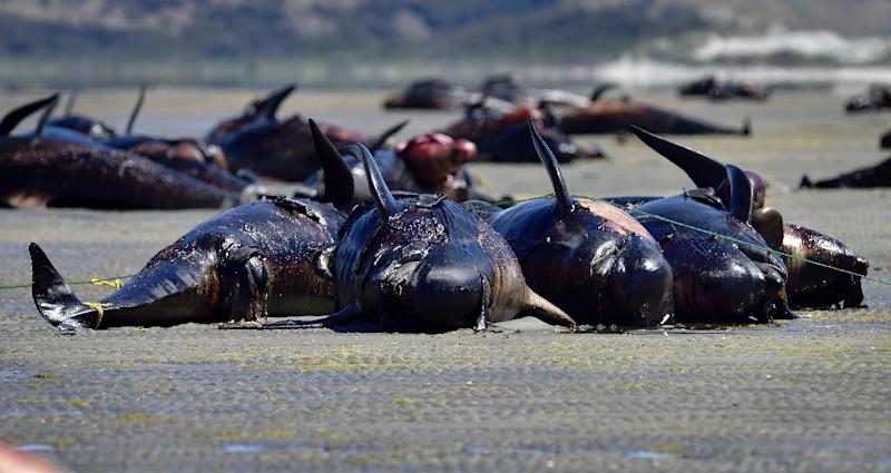 Whale strandings can occur for natural reasons, like age and disease, or from man-made disruption, such as environmental degradation or collision with ships (AFP Photo/Marty Melville)