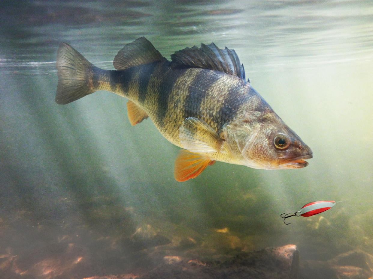 Yellow perch, (Perca flavescens), depicted in a natural setting following a spoon type lure