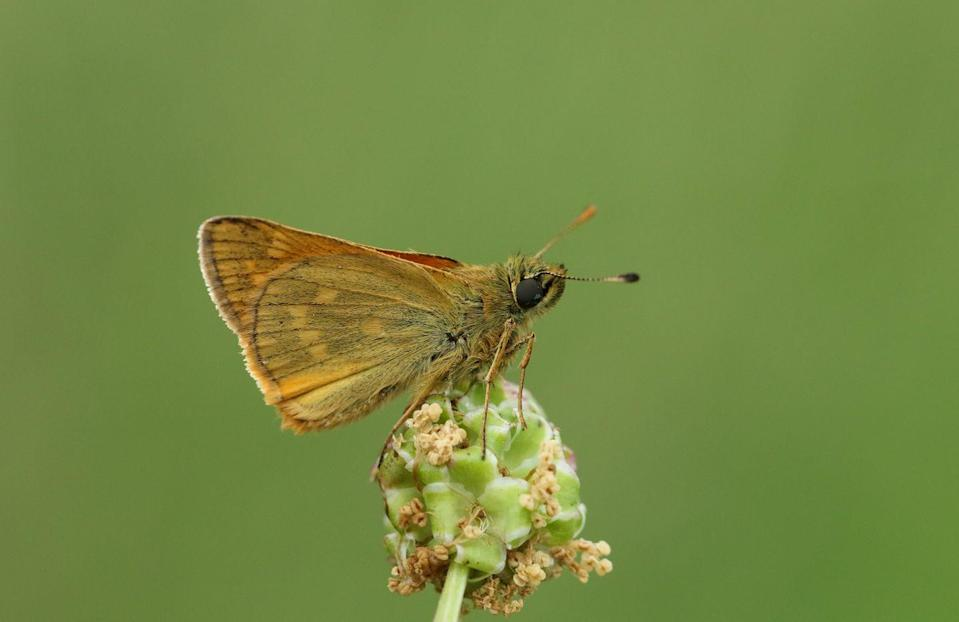 "<p><strong>Poweshiek Skipperling - </strong>Relocation efforts are now underway to release captured Skipperlings to areas such as the Wet-mesic Prairie. The population numbers of this species are so low, it is now considered ""Critically Imperiled.""</p>"