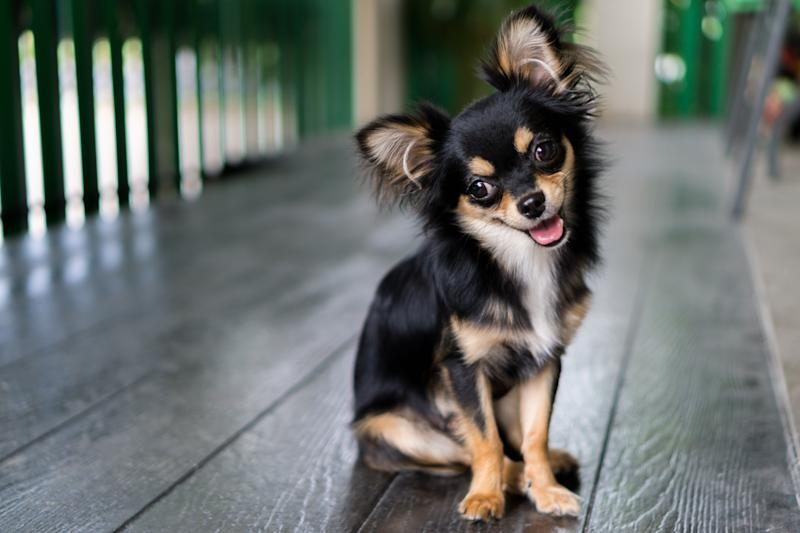 Black Chihuahua is sitting and happy smile.