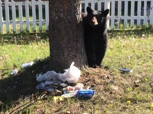 A black bear is seen approaching a pile of garbage in the Okanagan. (B.C. Conservation Officer Service - image credit)