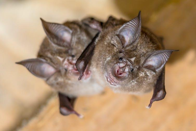 Two horseshoe bats.
